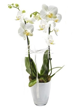 2 dallı beyaz seramik beyaz orkide saksısı  Şırnak çiçekçi telefonları