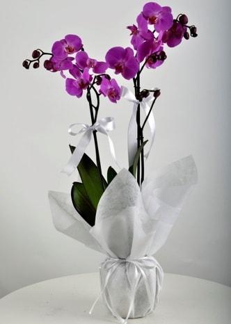 Çift dallı saksıda mor orkide çiçeği  Şırnak cicekciler , cicek siparisi