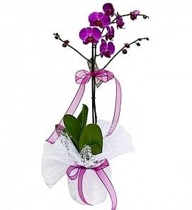 Tek dallı saksıda ithal mor orkide çiçeği  Şırnak online çiçek gönderme sipariş