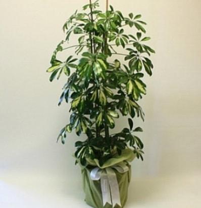 Şeflera salon bitkisi  Şırnak çiçek , çiçekçi , çiçekçilik