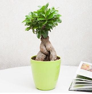 Ficus Ginseng Bonsai  Şırnak çiçek online çiçek siparişi
