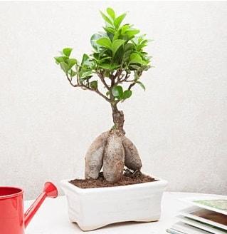 Exotic Ficus Bonsai ginseng  Şırnak güvenli kaliteli hızlı çiçek