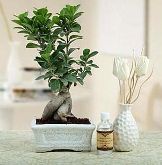 Ginseng ficus bonsai  Şırnak online çiçek gönderme sipariş