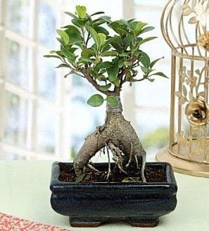 Appealing Ficus Ginseng Bonsai  Şırnak çiçek servisi , çiçekçi adresleri