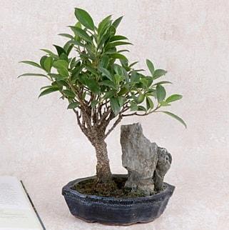 Japon ağacı Evergreen Ficus Bonsai  Şırnak çiçekçi telefonları