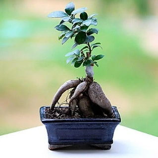 Marvellous Ficus Microcarpa ginseng bonsai  Şırnak cicekciler , cicek siparisi