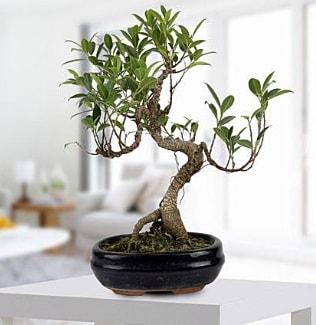 Gorgeous Ficus S shaped japon bonsai  Şırnak İnternetten çiçek siparişi