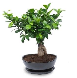 Ginseng bonsai ağacı özel ithal ürün  Şırnak çiçek siparişi vermek