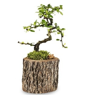 Doğal kütükte S bonsai ağacı  Şırnak hediye çiçek yolla