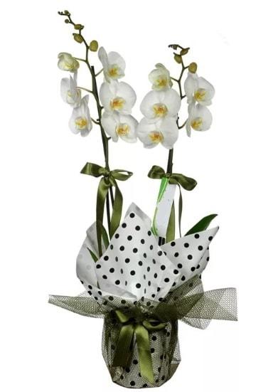 Çift Dallı Beyaz Orkide  Şırnak çiçek online çiçek siparişi