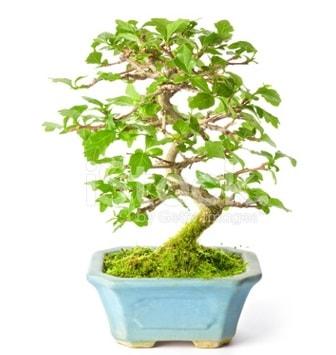 S zerkova bonsai kısa süreliğine  Şırnak çiçek gönderme
