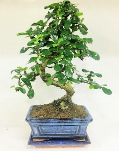 S Bonsai japon ağacı bitkisi  Şırnak hediye sevgilime hediye çiçek