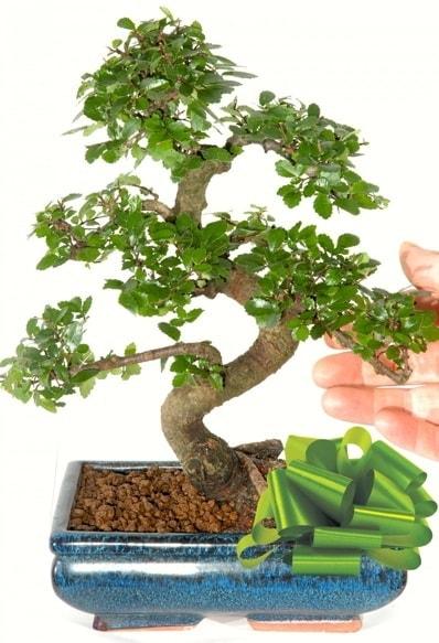 Yaklaşık 25 cm boyutlarında S bonsai  Şırnak internetten çiçek siparişi