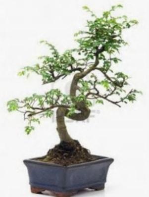 S gövde bonsai minyatür ağaç japon ağacı  Şırnak hediye çiçek yolla