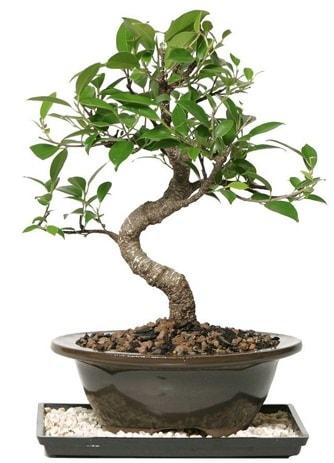 Altın kalite Ficus S bonsai  Şırnak ucuz çiçek gönder  Süper Kalite