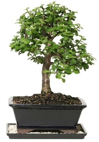 15 cm civarı Zerkova bonsai bitkisi  Şırnak internetten çiçek siparişi