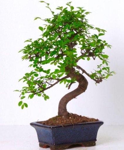 S gövdeli bonsai minyatür ağaç japon ağacı  Şırnak çiçekçi telefonları