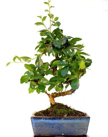 S gövdeli carmina bonsai ağacı  Şırnak çiçek satışı  Minyatür ağaç