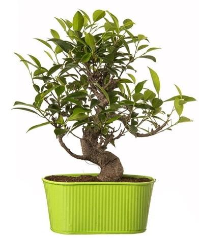 Ficus S gövdeli muhteşem bonsai  Şırnak internetten çiçek siparişi