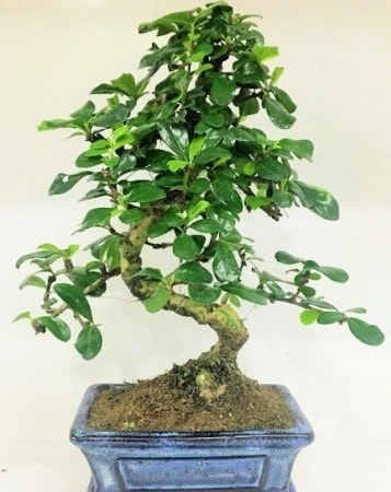Zelkova S gövdeli Minyatür ağaç Bonzai  Şırnak çiçek , çiçekçi , çiçekçilik