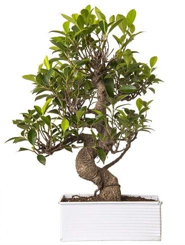 Exotic Green S Gövde 6 Year Ficus Bonsai  Şırnak çiçekçi telefonları