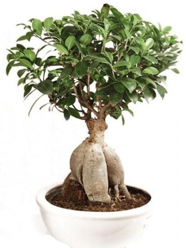 Ginseng bonsai japon ağacı ficus ginseng  Şırnak çiçek gönderme